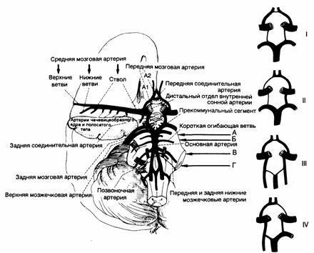 Показаны главные ветви вертебрально-базилярной артериальной системы.  Мелкие ветви позвоночных и главных...