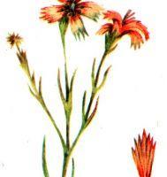 Dianthus campestris