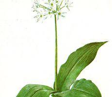 Allium victoriale