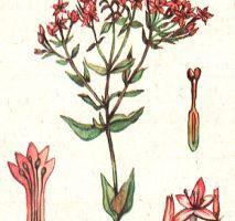 Erythraea centauriumй