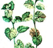 Glechoma hederacea