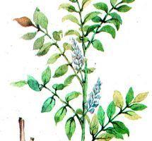 Glycyrrhiza glabra