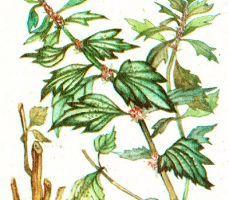 Leonurus guinguelobatus