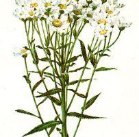 Ptarmica vulgaris