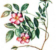 Rosa cinnamonea