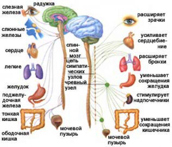 Фото нервной системы у детей